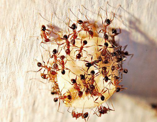 фараонові мурахи
